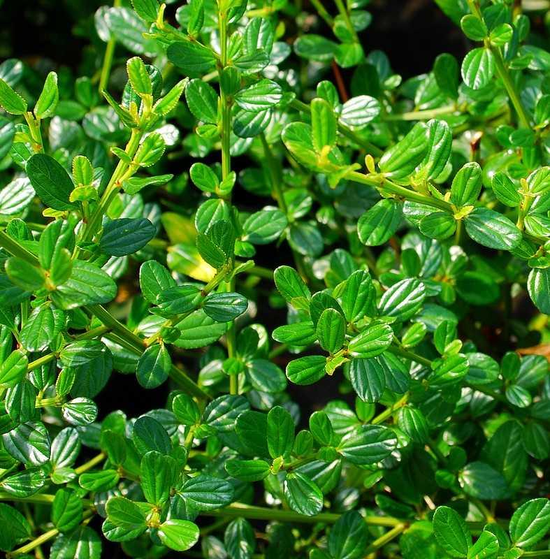 plantes oasis c anothe victoria ceanothus impressus. Black Bedroom Furniture Sets. Home Design Ideas