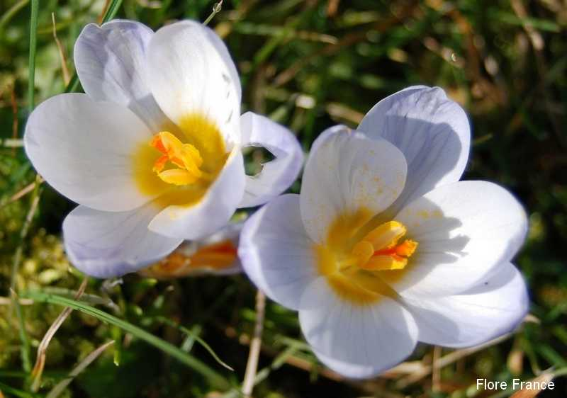 Photo Crocus crysanthus