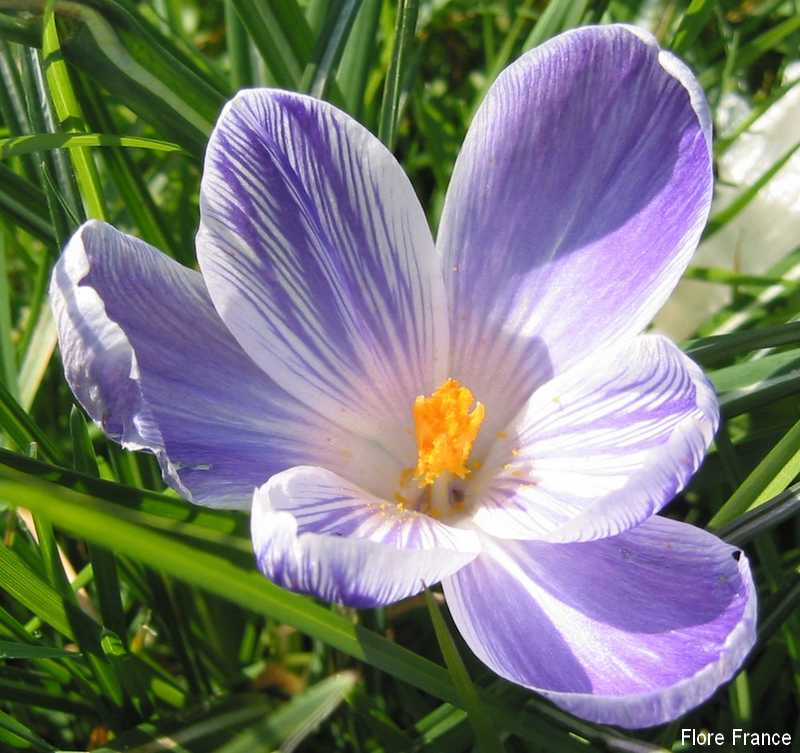 Photo Crocus vernus