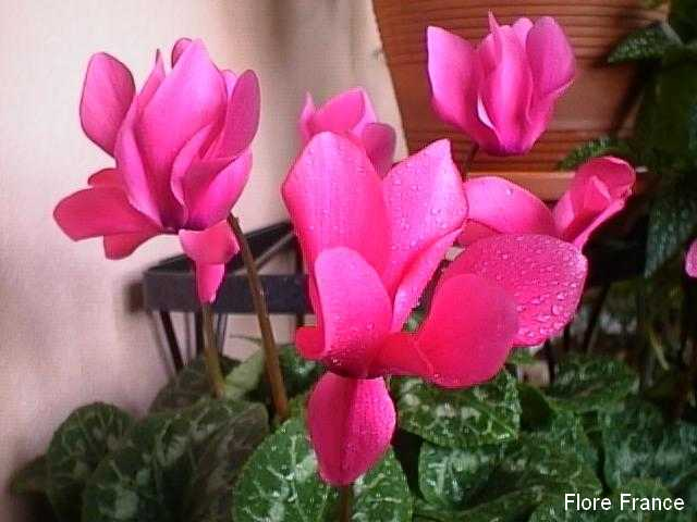 Photo Cyclamen rohlfsianum