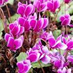 Photo Cyclamen de Naples