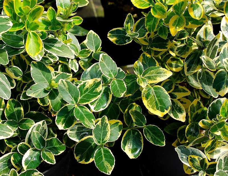 Euonymus fortunei Bright Edge