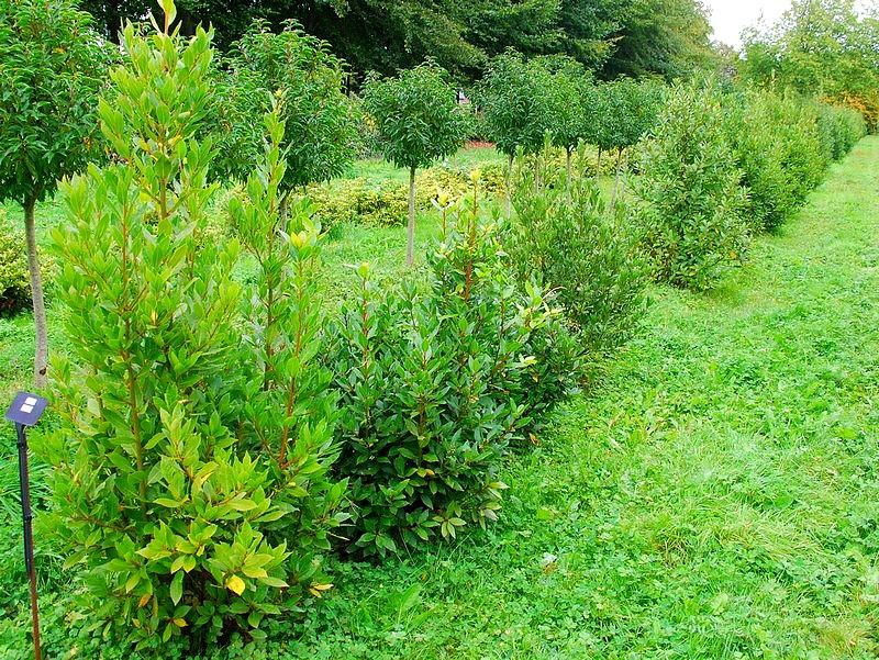Plantes oasis laurier sauce laurus nobilis - Taille haie laurier ...