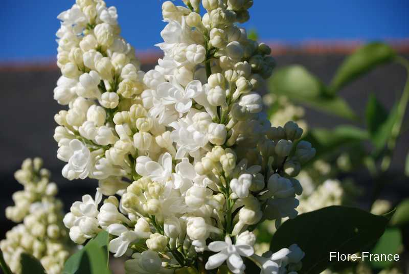 Photo Lilas commun 'Mont Blanc'