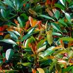 Photo Photinia fraseri Red Robin
