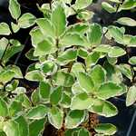 Photo Pittosporum Saundersii