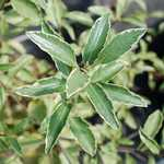 Photo Pittosporum tenuifolium Silver Queen
