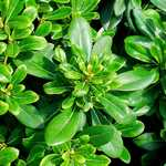 Photo Pittosporum tobira nana