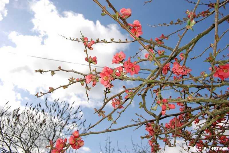 Plantes oasis pommier du japon - Pommier du japon toxique ...