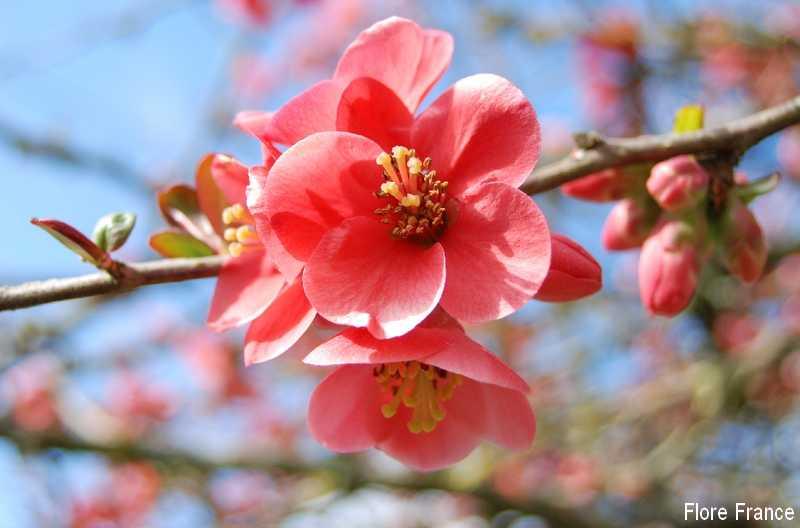 Plantes oasis pommier du japon - Arbuste japonais fleur jaune ...