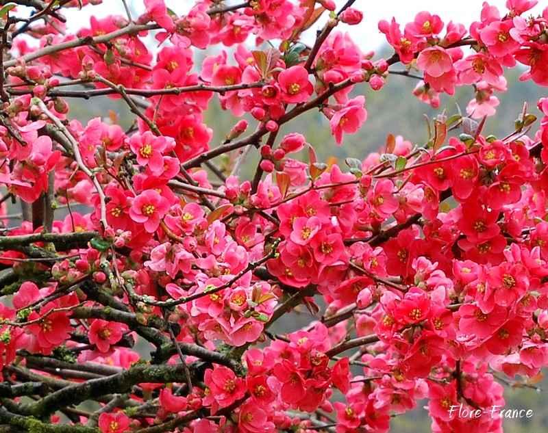 Plantes oasis pommier du japon - Pommier du japon fruit ...