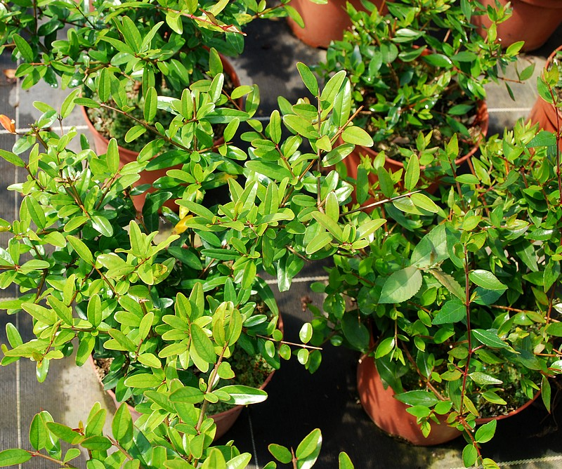 plantes oasis grenadier nain punica granatum nana. Black Bedroom Furniture Sets. Home Design Ideas