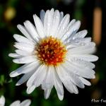 Photo Aster de la nouvelle Belgique white ladies